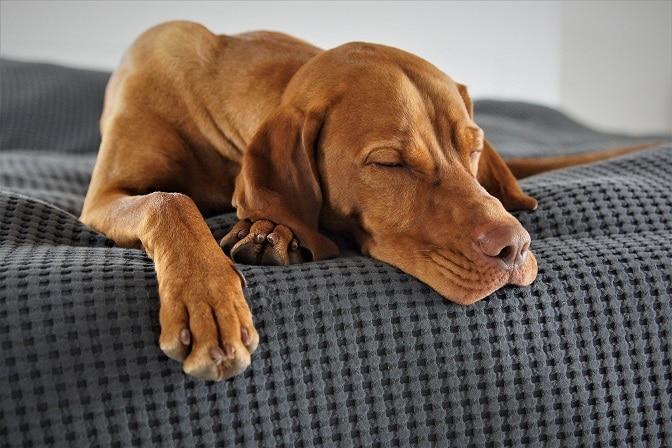Hund schläft auf seinem Hundeplatz auf einem Hundekissen