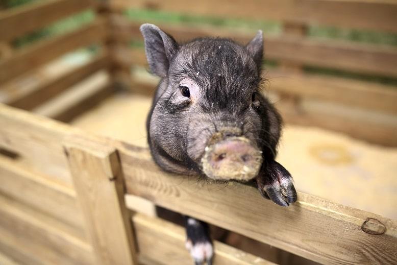 Minischwein in seinem Gehege