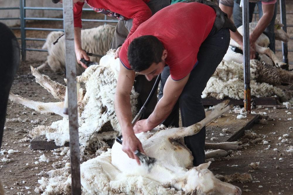 Landwirt bei der Schafschur